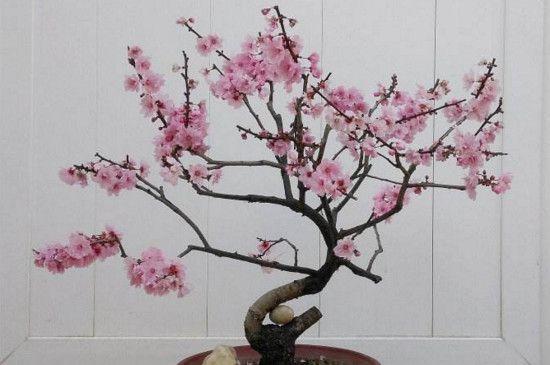 怎样让梅花春节开花,控温控水补光给梅花催花