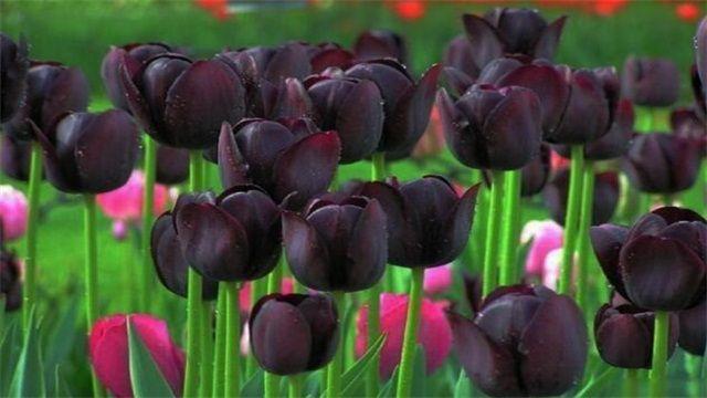 黑色的花有哪些?盘点十种稀有的黑色花卉