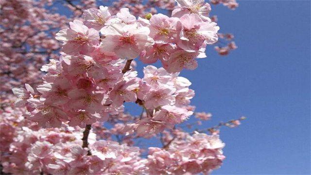 <b>樱花花语是生命之美</b>