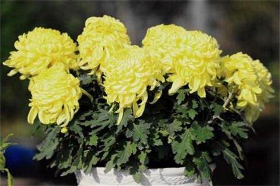 菊花怎么扦插?七步方法成功让菊花扦插繁殖