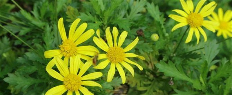 黄金菊怎么养?黄金菊养殖方法和注意事项