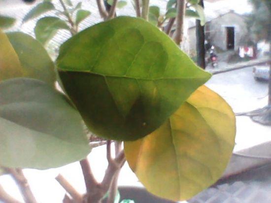 三角梅叶子发黄