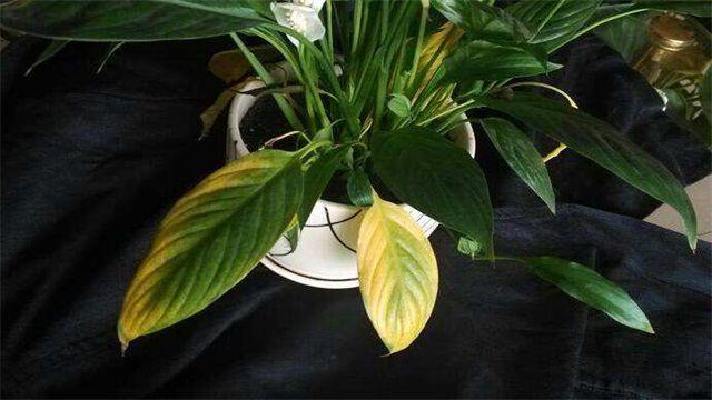 白掌叶子发黄的六大原因