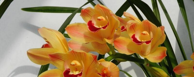兰花春天怎么养?兰花春天养殖方法和修剪枝叶