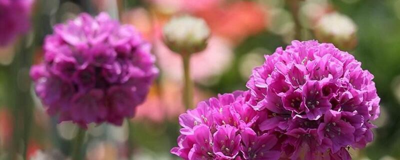 海石竹几月开花图片
