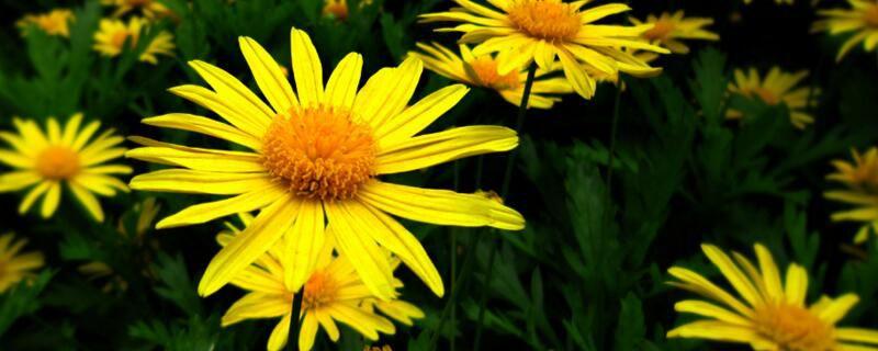 黄金菊怎么修剪?黄金菊修剪方法和注意事项