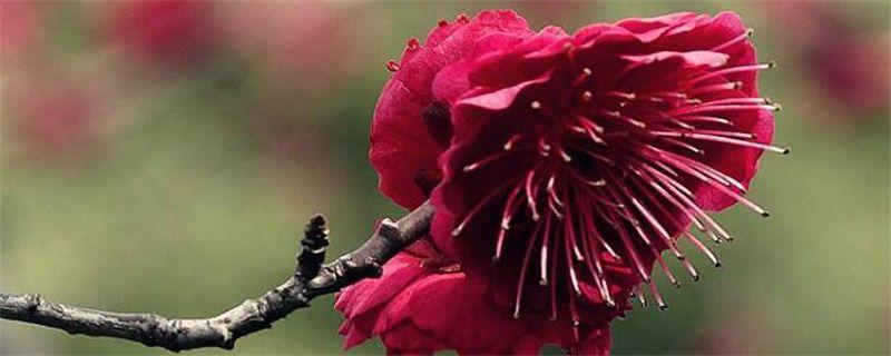 梅花有哪些种类?十大梅花品种图片