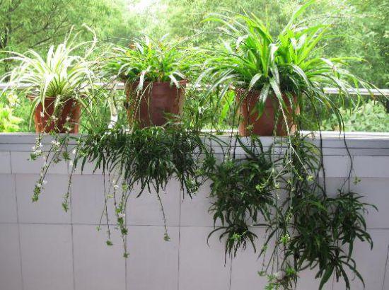 一叶兰图片盆栽图片