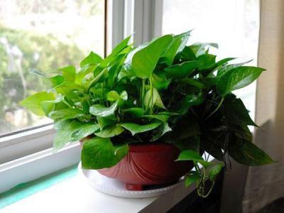 绿萝扦插快速生根的4种方法步骤