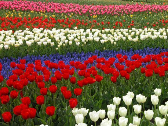 园地栽培的郁金香