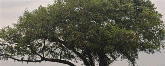 栽黃角樹的禁忌