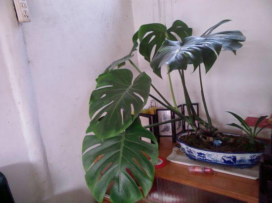 盆栽龟背竹
