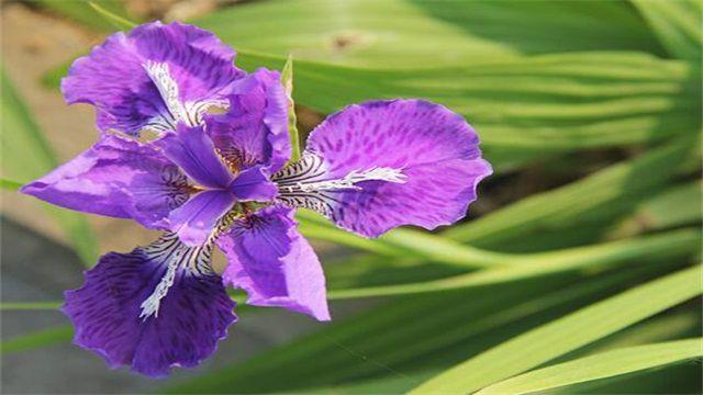 鸢尾花隐藏花语:绝望的爱