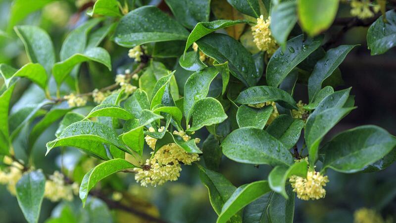 盆栽桂花树叶子都干了图片