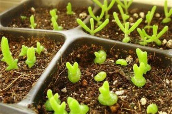 碧光环怎么播种?碧光环播种繁殖的4个步骤