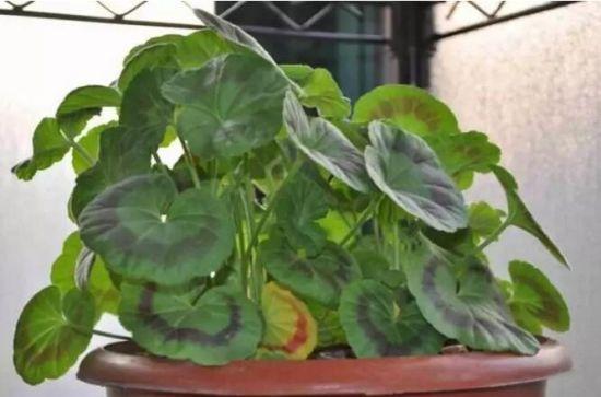 植物缺少复合肥症状图片