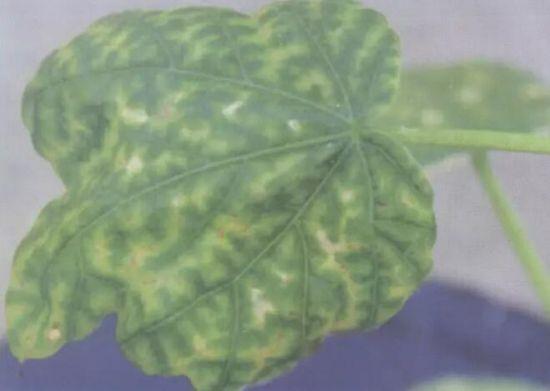 植物叶子缺肥的表现图片