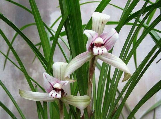 兰草的养殖方法和注意事项:喜半阴,不耐强光