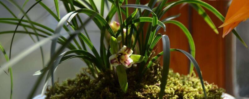 椰壳块可以养兰花吗