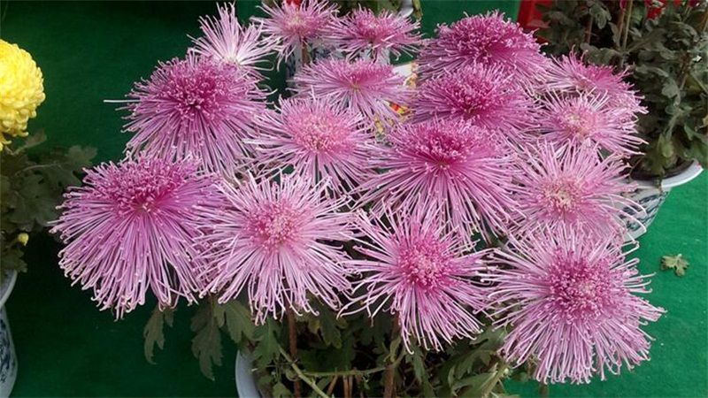 <b>菊花的养殖方法和注意事项</b>