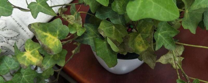 常春藤叶子干枯原因图片