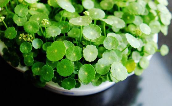 什么花完全泡在水里养?盘点十种可以完全水养的花卉