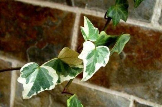 常春藤叶子干枯掉落图片