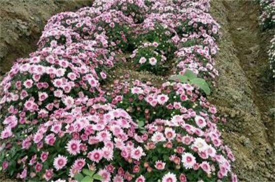 地栽菊花的养殖方法,四个方法成功养殖地栽菊花