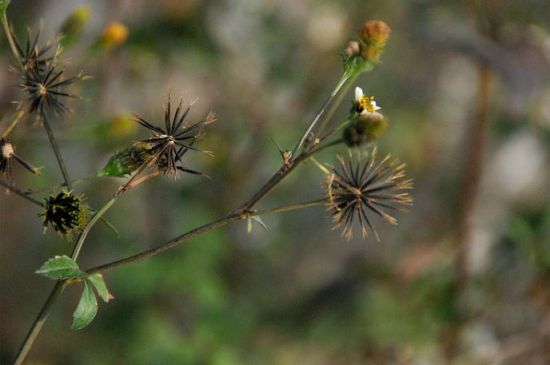 鬼针草种子像凋落后的雪花