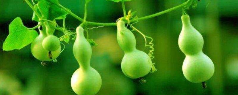 葫芦什么时候成熟