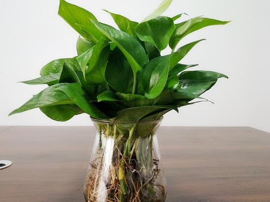 水培绿萝怎么养?水培绿萝养殖方法和注意事项