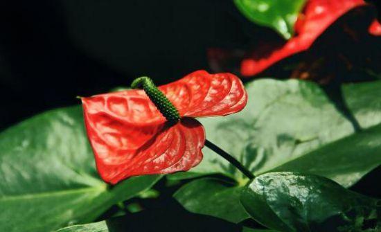 红掌花怎么养才会茂盛图片