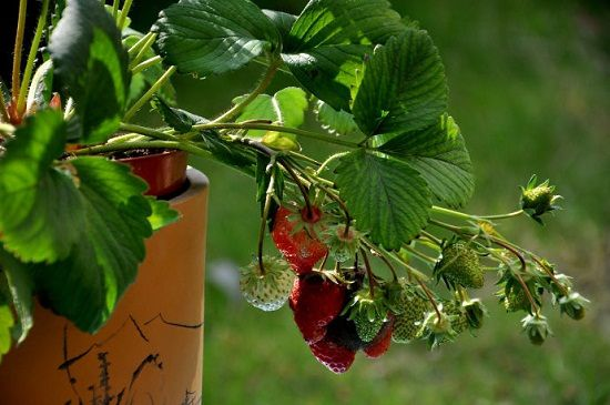 盆栽草莓怎样种植