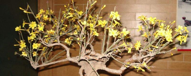迎春花盆景的养殖方法