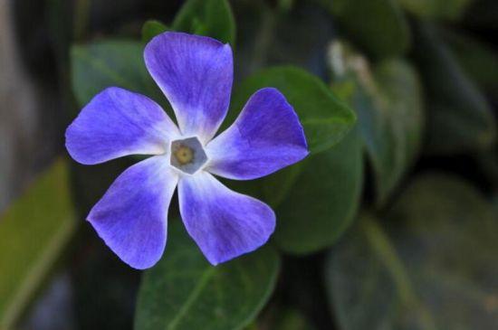 四季梅/日日春/长春花的种植方法和注意事项