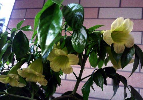 幸福树开花吗?幸福树花期一般在5~9月份