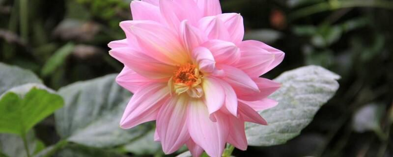 <b>大丽菊的养殖方法和注意事项</b>