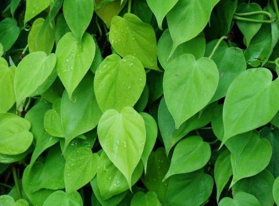 心叶蔓绿绒
