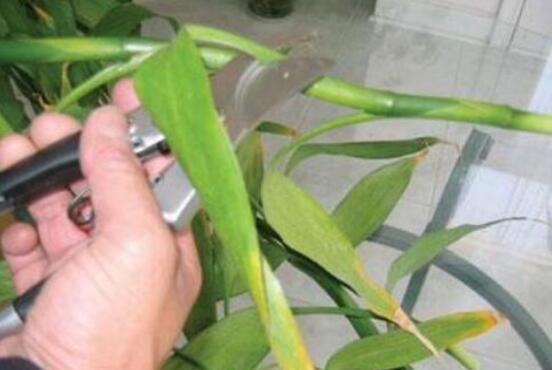 富贵竹没有根怎么土养?富贵竹土插方法与养护技巧