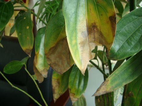 平安树叶子发黄是怎么回事?原因分析|处理办法