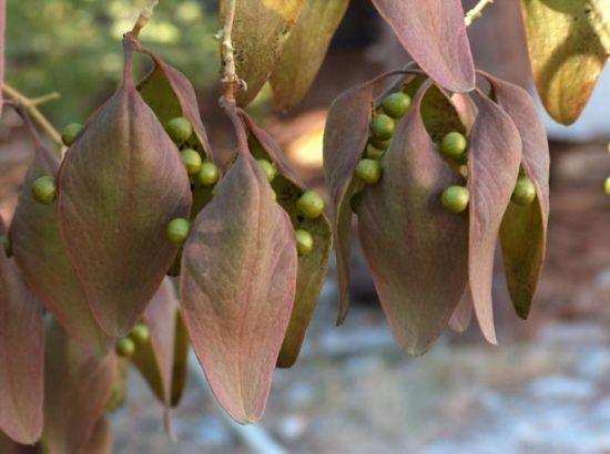 梧桐树上的荚果裂了图片