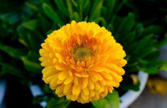 金盏菊种植方法