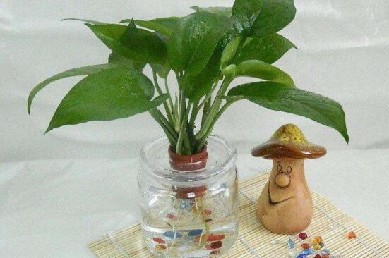 水培绿萝叶子发黄怎么办?水培绿萝叶子发黄的4种解决方法