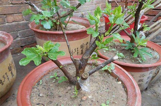 盆栽无花果栽培四大步骤:让你在阳台就能种植