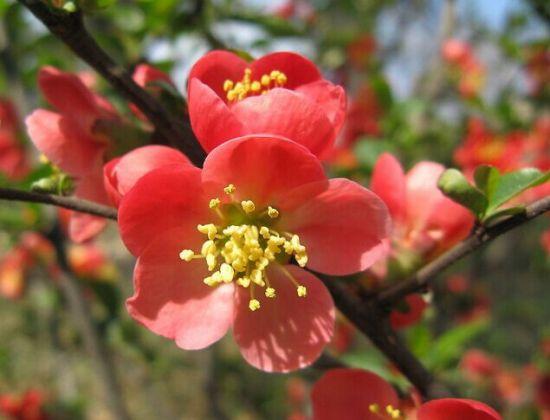 漂亮的海棠花