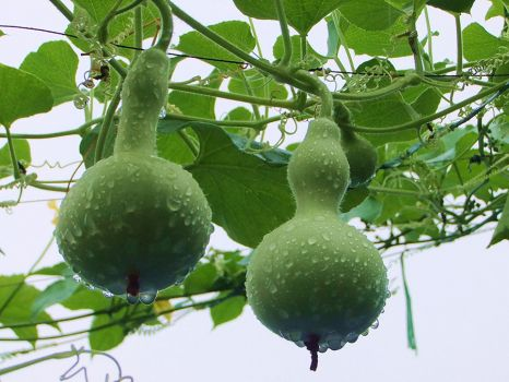 品种繁多的葫芦
