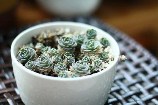 子持莲华的种植方法