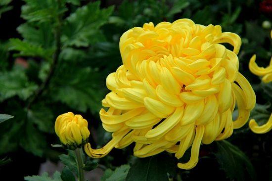 西方五行属金——宜养黄色花卉
