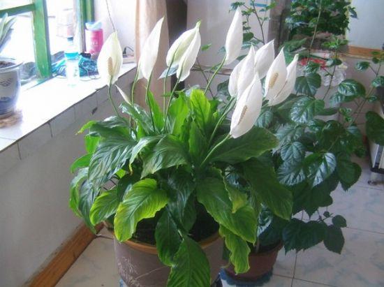 北方五行属水——宜养白色花卉