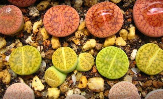 生石花的种植方法【分享】